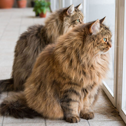 Two long-haired cats looking out a window