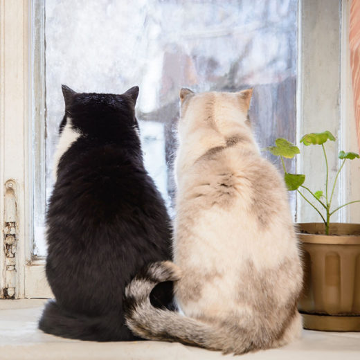 two large cats looking out of the window