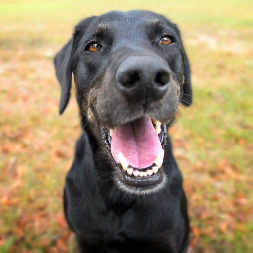 black dog with their mouth open