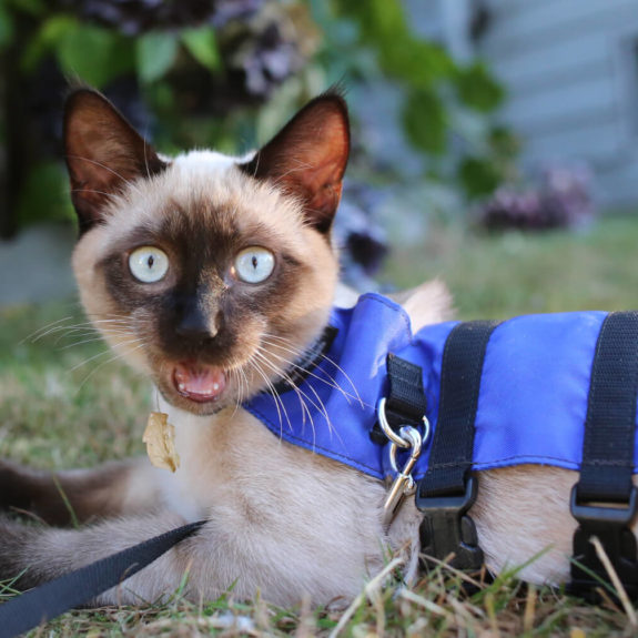 Siamese cat on blue harness outside