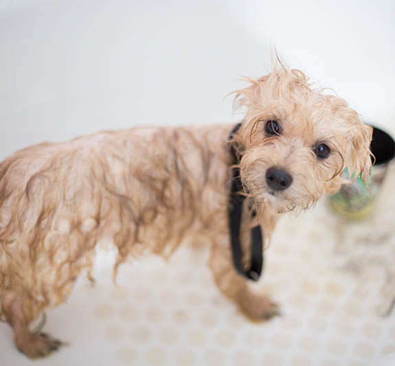 small wet poodle dog stands in bathtub