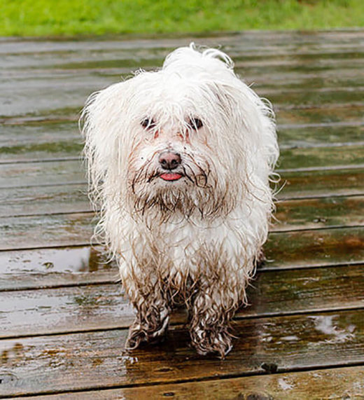 Fighting Fleas How To Get Rid Of Fleas On Your Dog Mud Bay