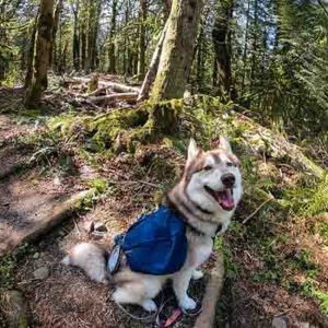 Husky in Woods at Silver Falls